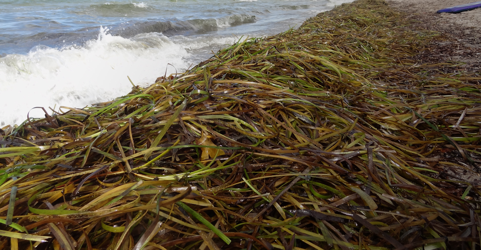 A seagrass on the sand.