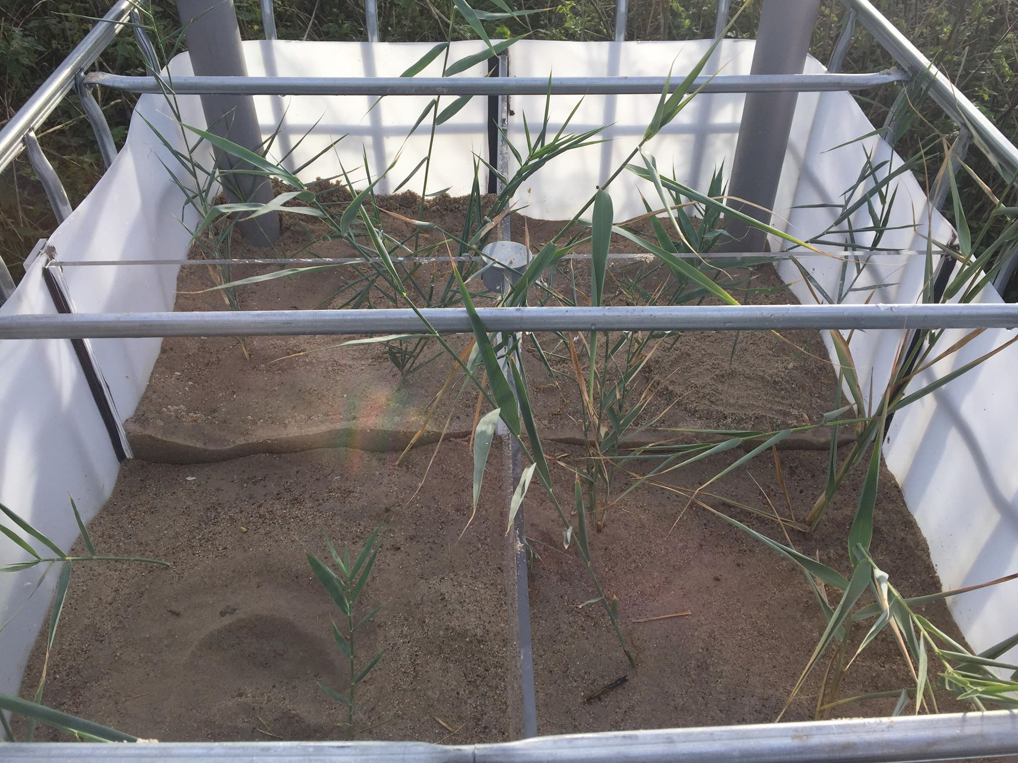 Cane growing in a box with sand.